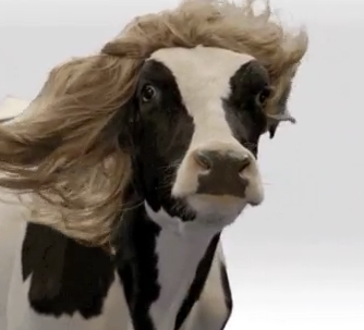 No, not that cow.