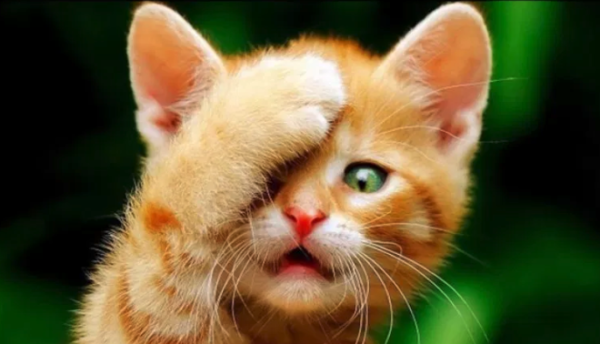Kitten Facepalm